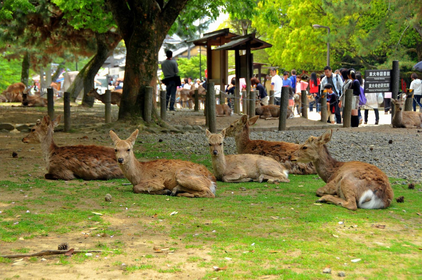 Nara Japan  city pictures gallery : Nara Japan Deer | Car Interior Design