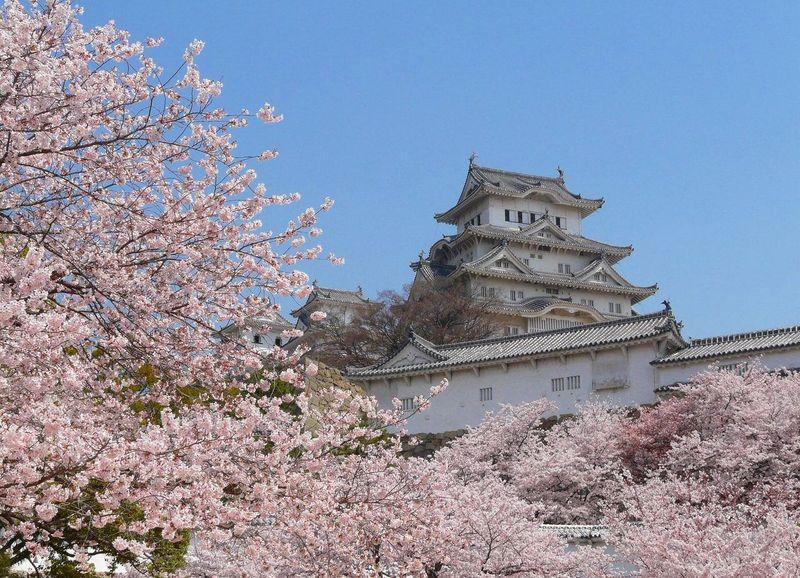 himeji castle sakura hanami day