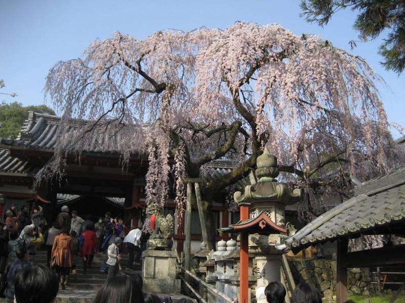 himuro shrine jinja nara sakura hanami