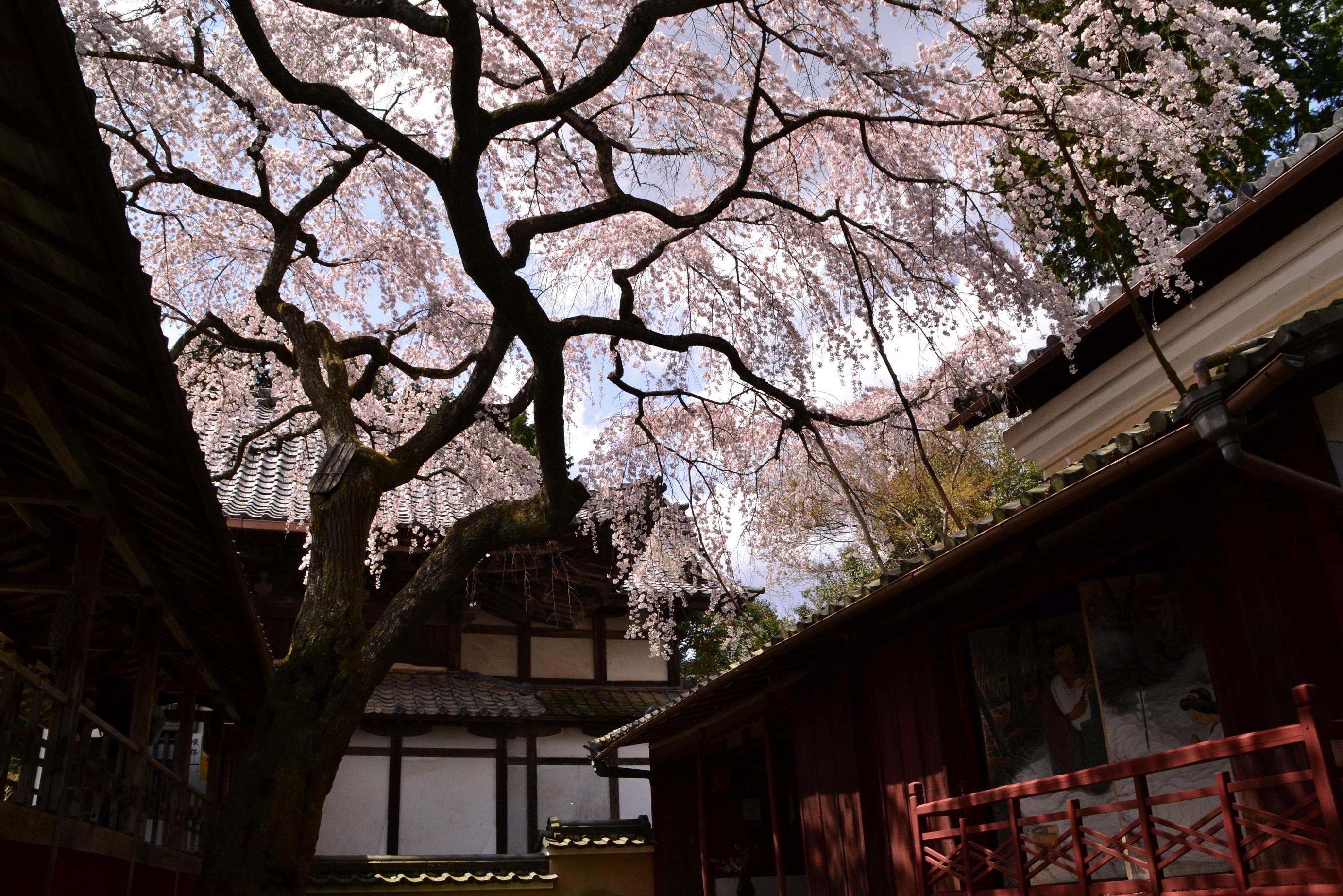 Image result for Oharano-jinja Shrine sakura